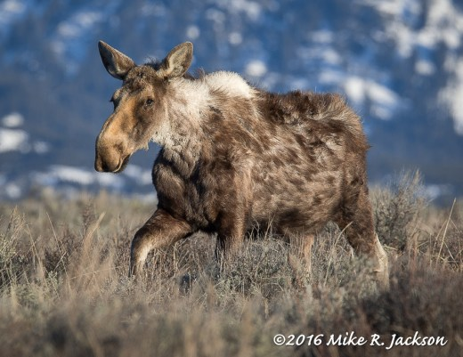 Shaggy Cow Moose
