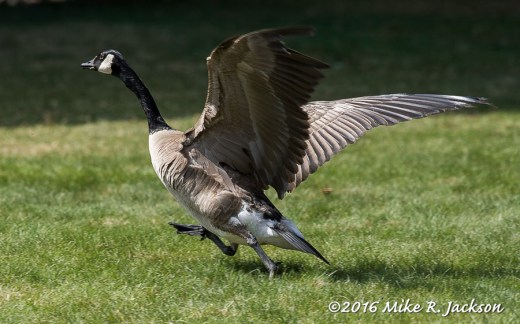 Goose Take Off