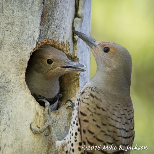 Flicker Female And Chick