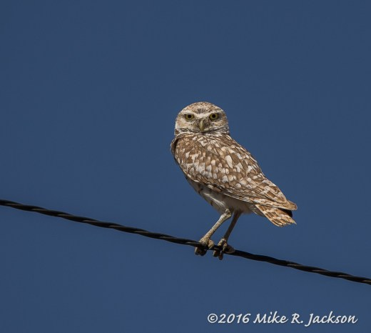 Owl on the Line