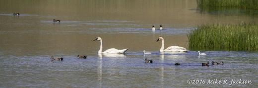 Swan Cygnets