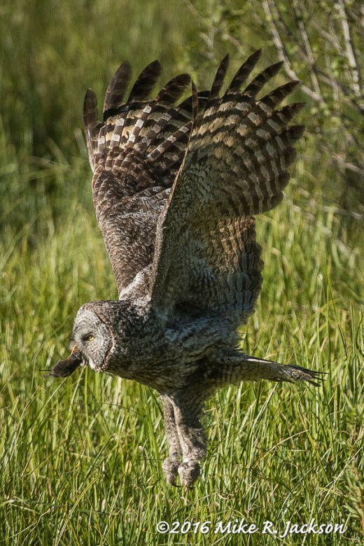 Great Gray Owl with a Meal