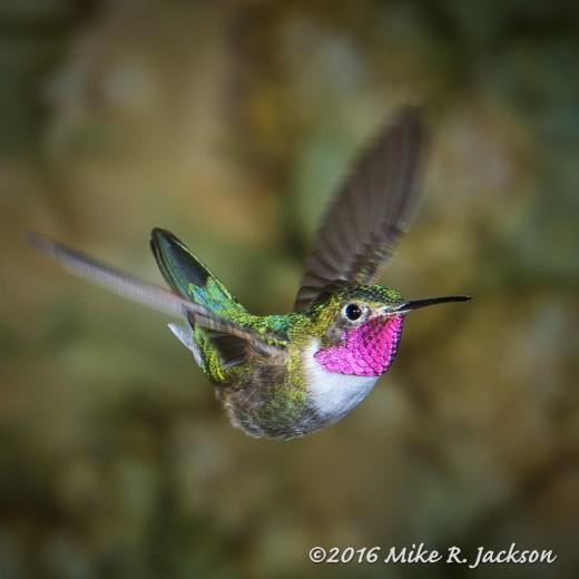 Hummingbird Gorget