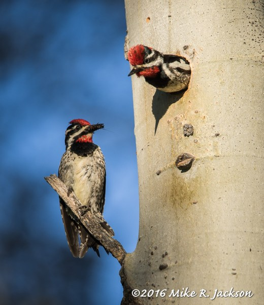 Red-naped Sapsuckers