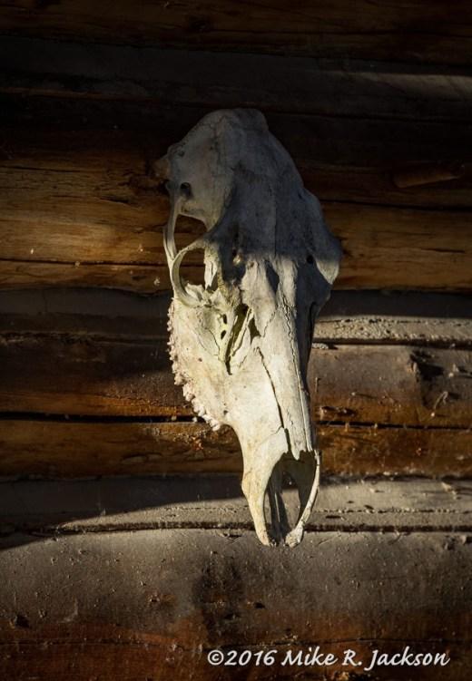 4 Lazy F Skull