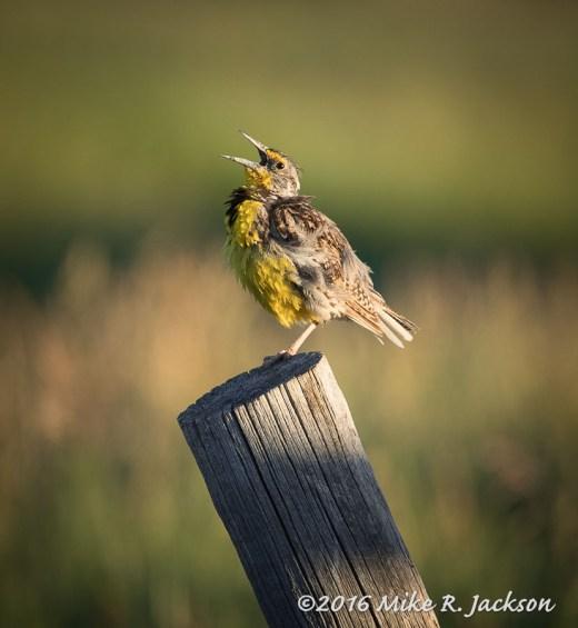 Morning Meadowlark