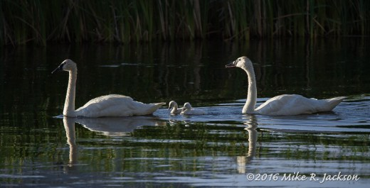 Morning Trumpeter Swans