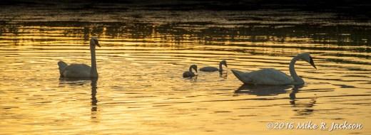 Swans in Golden Light