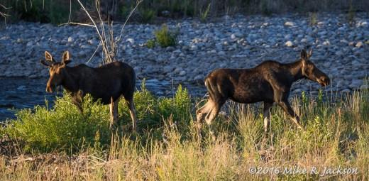 Young Bull Moose at GV