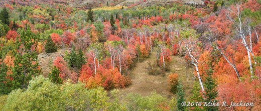 Mountain Maple Grove