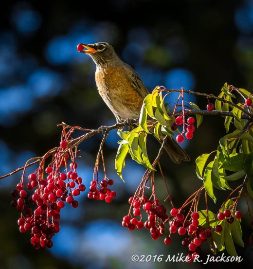Robin and Choke Cherries