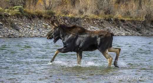 Young Moose Crossing River