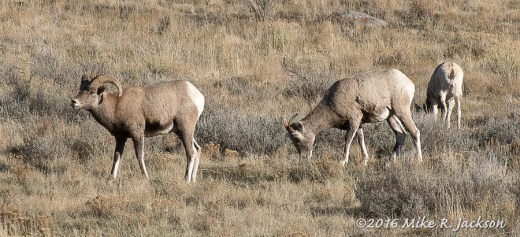 Early Bighorns