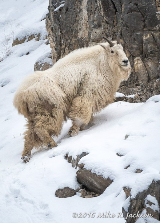 Billy Mtn. Goat