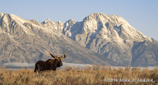 Bull Moose in front of Mt. Moran
