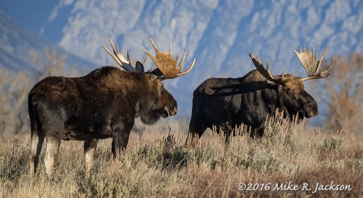 Moose and Sagebrush