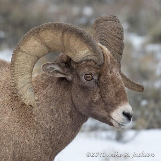 Ram's Face