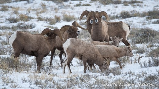Rams and Ewes