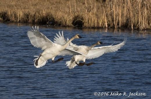 Landing Swans