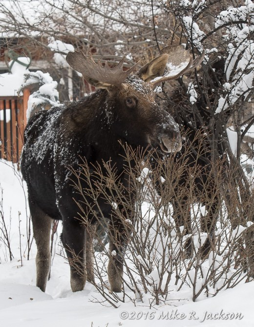 Neighborhood Moose