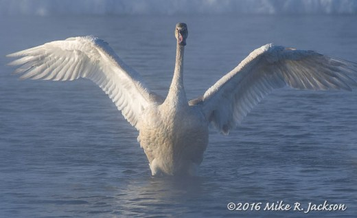 Cygnet in Kelly Warm Springs