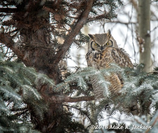 Afternoon Great Horned Owl