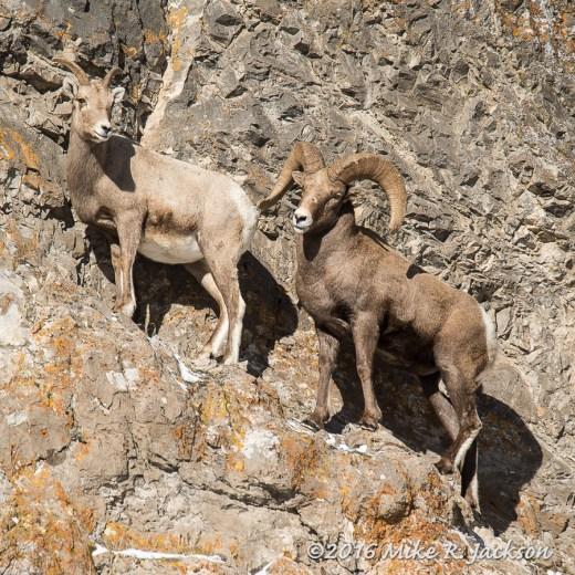 Miller Butte Bighorns