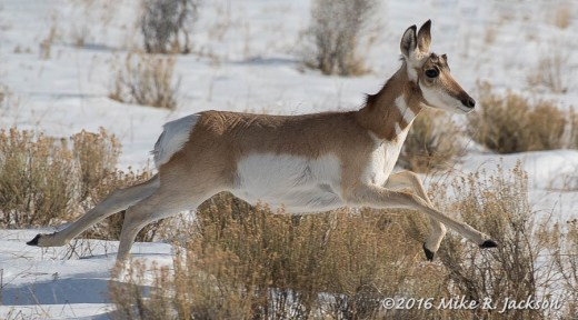 Pronghorn in Sage