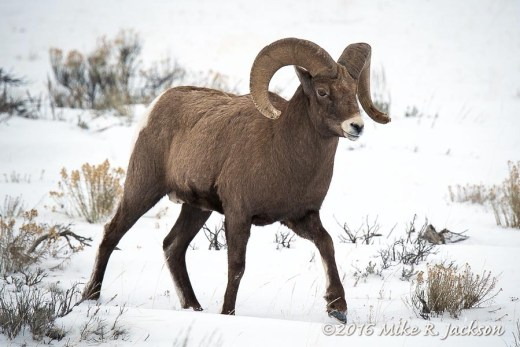Ram in Winter