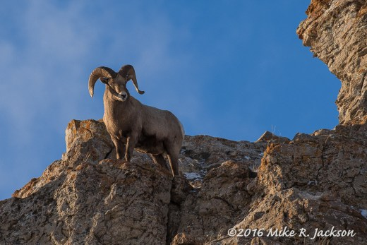 Ram on a Ridge