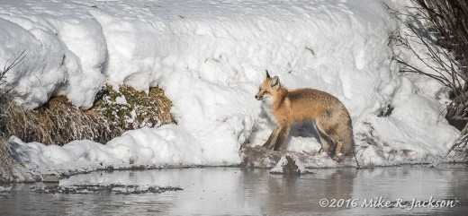 Red Fox with Frozen Carcass