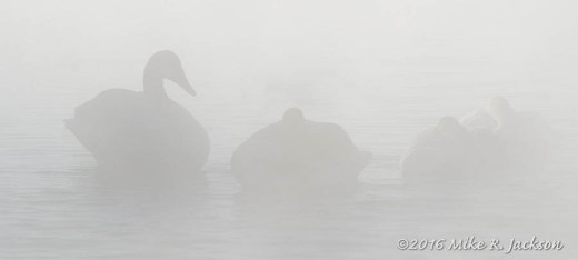 Ghostly Swans