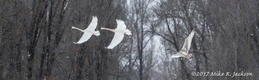 Banking Swans
