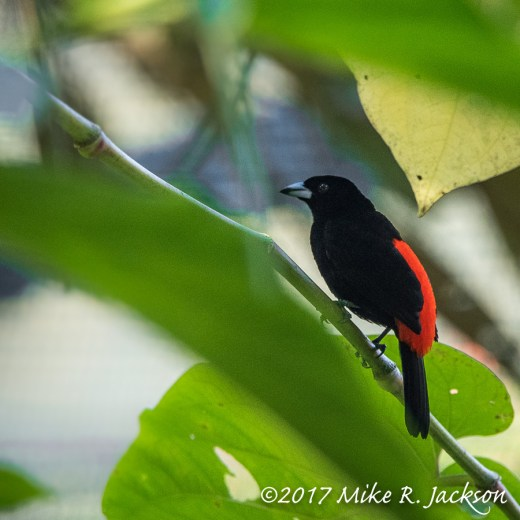 Cherry Tanager