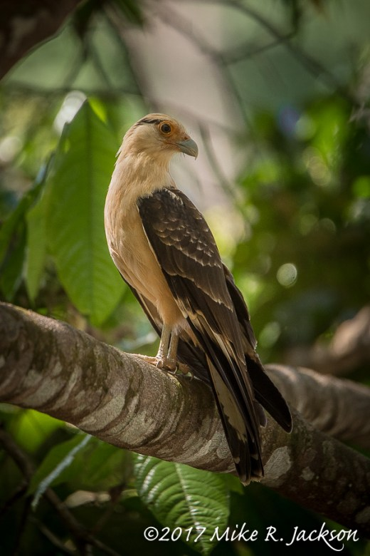 Costa Rica Yellow-headed Caracara