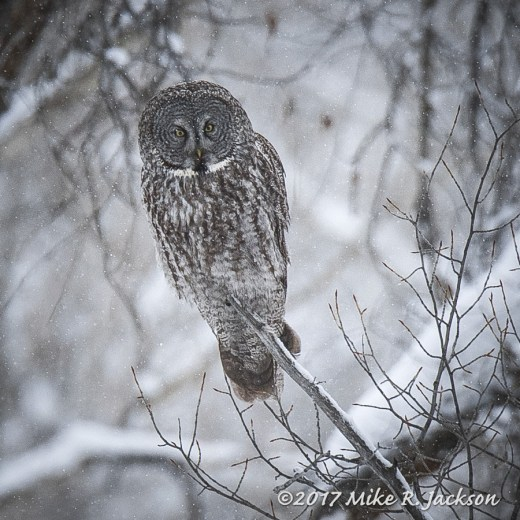Great Gray in Snow