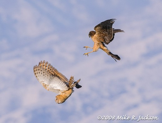 Barn Owl and Harrier