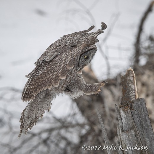 Great Gray Owl Landing on Stump