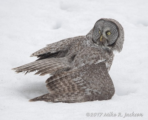 Great Gray Owl on Snow