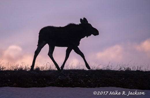 Moose on Ridge