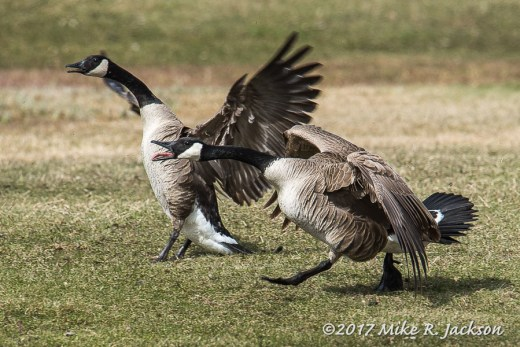 Agitated Geese
