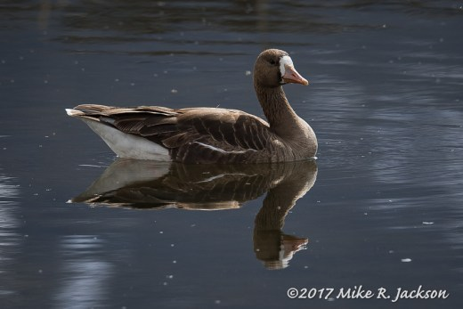 Greater White-faced Goose