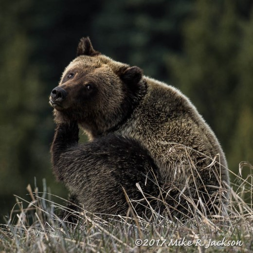 Grizzly Scratching