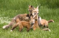 Karnes Meadows Foxes