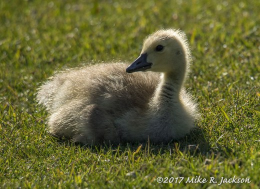 Backlit Gosling