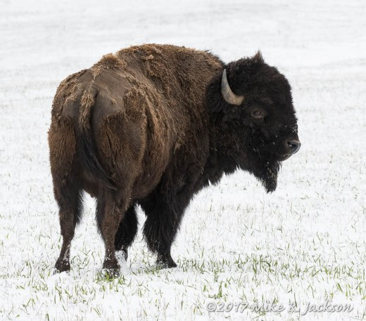 Bison Bull In Snow