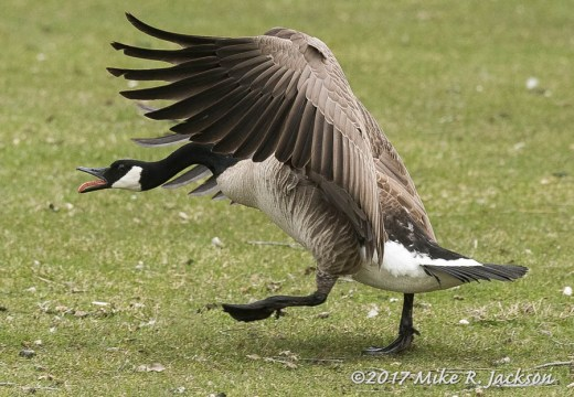 Excited Goose