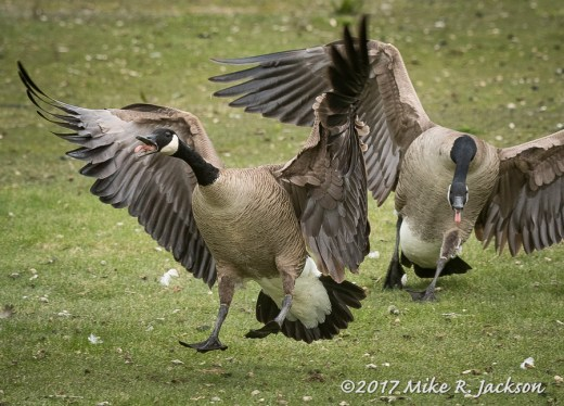 Fighting Geese
