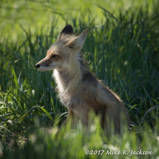 Fox in Deep Grass