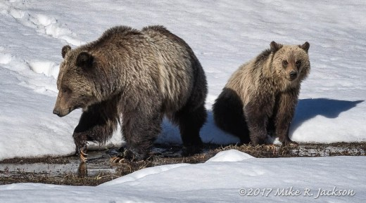 Bears On Snow